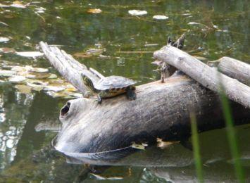 Koniec z żółwiami w Fosie Miejskiej