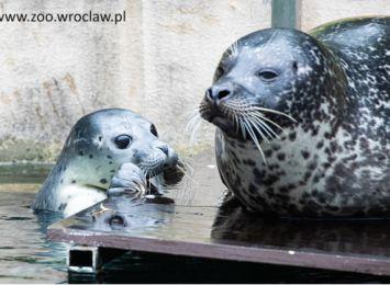 Na świat przyszły dwie foki pospolite