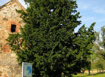Ma 1280 lat. Według badań jest najstarszym drzewem w Polsce