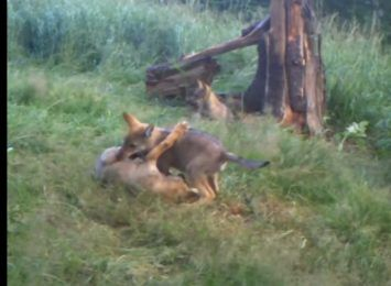 Kolejne młode wilki pojawiły się na terenie Nadleśnictwa Wałbrzych